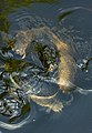 Blacklick Woods - Common snapping turtles mating 1.jpg