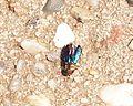 Blau-käfer 2011-07-19.JPG