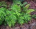 Blechnum novae-zelandiae in Wellington Botanical Garden 02.jpg
