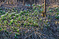 Bledule jarní v PR Králova zahrada 60.jpg