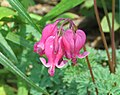Bleeding Heart Dicentra eximia Mill Creek Rd 051520 BLaboy 2 flower.jpg