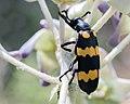 Blister beetle (26390828032).jpg