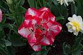 Blommor (8770153976).jpg