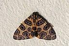Blotched leopard moth (Pantherodes conglomerata).jpg