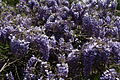 Blue-flower-wisteria - West Virginia - ForestWander.jpg