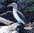 Blue-footed booby (47939940128).jpg