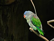 Dusty green parrot with bright green wings, blue brow, and red beak