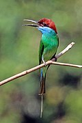Blue-throated bee-eater (Merops viridis).jpg