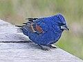 Blue Grosbeak male RWD.jpg
