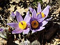 Blue anemone.jpg