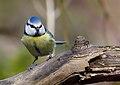 Blue tit (Cyanistes caeruleus), Parc du Rouge-Cloître, Brussels (32781868883).jpg