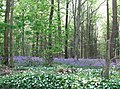 Bluebells and wild garlic - geograph.org.uk - 423463.jpg