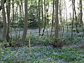 Bluebells in Harmergreen Wood - geograph.org.uk - 404043.jpg