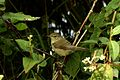 Blyth's Reed warbler from Anamalali hills JEG0631.jpg