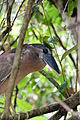 Boat-billed Heron (Cochlearius cochlearius) (5818990055).jpg