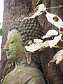 Bodhi Tree (Whiteleaf) of Wat Hua Hat 0.JPG