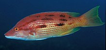 Bodianus unimaculatus (Red pigfish).jpg