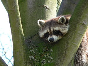 A bored raccoon at shepreth