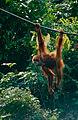 Bornean Orangutan (Pongo pygmaeus) (14392504610).jpg