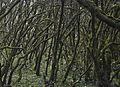 Bosque Encantado, Parque nacional de Garajonay, La Gomera, España, 2012-12-14, DD 15.jpg