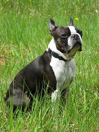 Boston Terrier - A young male Boston Terrier with a black brindle coat