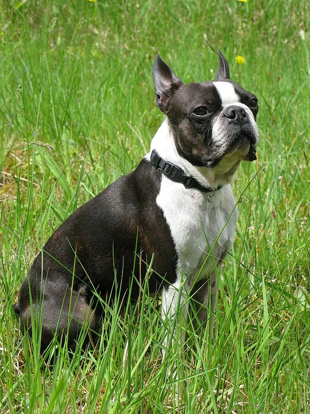 Boston Terrier - Wikiwand