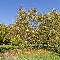 Botanischer Garten Berlin-Dahlem 10-2014 photo11 Malus mandshurica.jpg