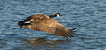 Branta canadensis, taking off at Las Gallinas Wildlife Ponds.jpg