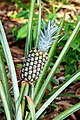Brazil-00721 - Pineapple (48973010062).jpg