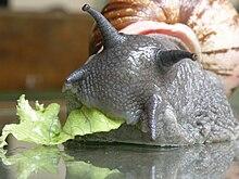 Un escargot vu de face, en train de manger de la salade, on voit des sortes de cornes pointées vers l'avant, deux longues en haut, deux courtes en bas, terminées par des petites boules
