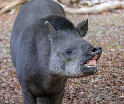 Tapir brasilero mostrando los dientes
