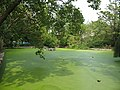 Brookmill Park, lake with algal bloom - geograph.org.uk - 1496154.jpg