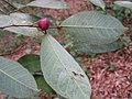Brosimum guianense, quiri - Flickr - Tarciso Leão (12).jpg