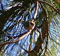 Brown-headed Nuthatch n88n88.jpg