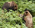 Brown bears with salmon carcass.jpg