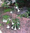 Brugmansia x candida - White Angel's Trumpet.jpg
