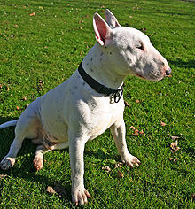 Bull Terrier white sitting.jpg