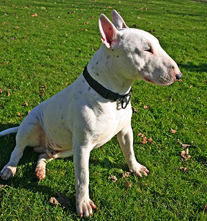 A white Bull Terrier named Draco.