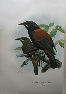 Bullers saddlebacks.jpg