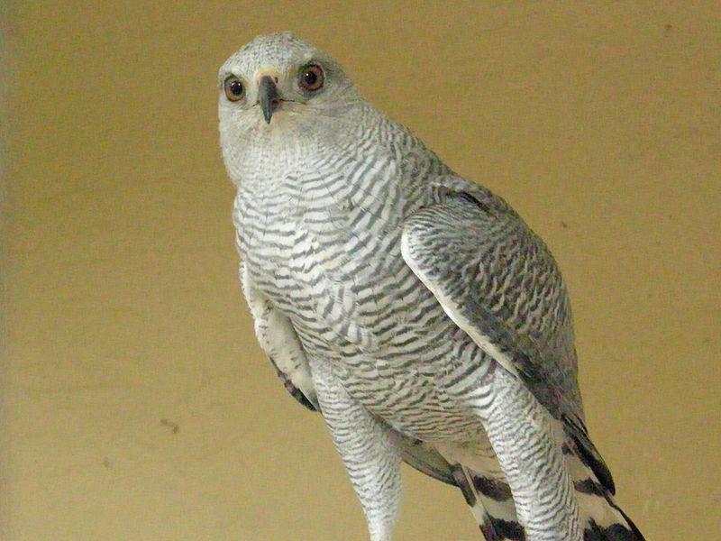 Buteo nitidus gray hawk asturina nitida for Gray hawk