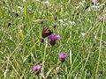 Butterfly (1173210429).jpg