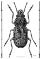 COLE Anthribidae Androporus discedens.png