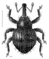 COLE Curculionidae Etheophanus pinguis.png
