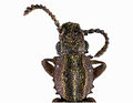 CSIRO ScienceImage 11058 Oryzaephilus mercator Merchant grain beetle.jpg
