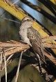 Cacomantis pallidus 01 - Christopher Watson.jpg