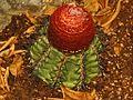Cactaceae - Melocactus matanzanus.JPG