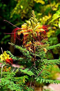 240px caesalpinia gilliesii in jardin des plantes de montpellier 04