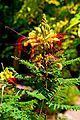 Caesalpinia gilliesii in Jardin des plantes de Montpellier 04.jpg