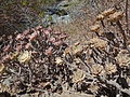 Caldera de Taburiente (La Palma, Islas Canarias, España) - plantas 02.JPG