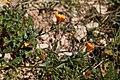 Calendula arvensis-Souci des champs-Feuilles-201903018.jpg